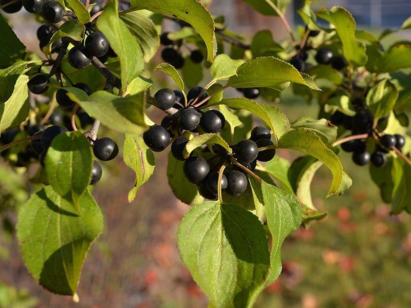 Acı cehre nedir? Tohumu ve çayı nasıl kullanılır? Fayda ve zararları