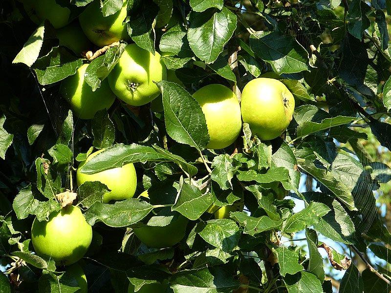 Acı elma yağı nedir? Faydaları, zararları, kullanımı, fiyatı