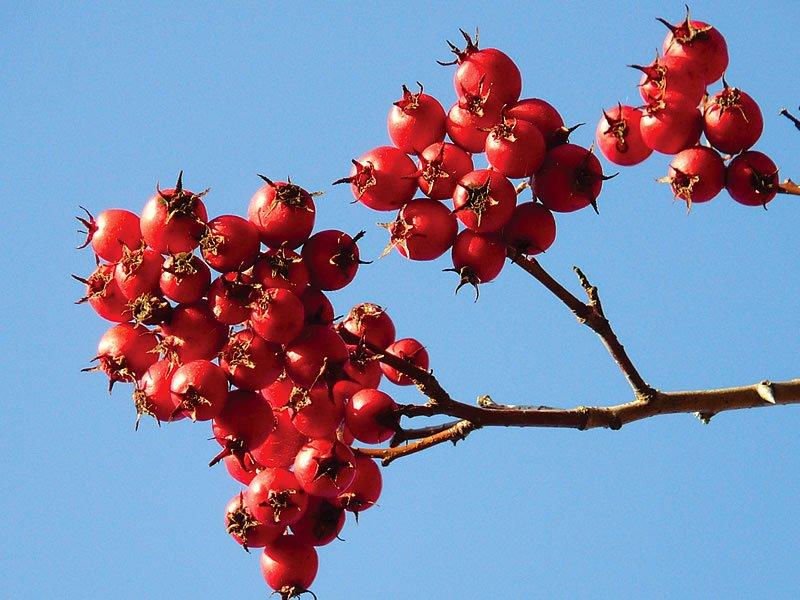 Alıç çayı nasıl yapılır? Faydaları ve zararları