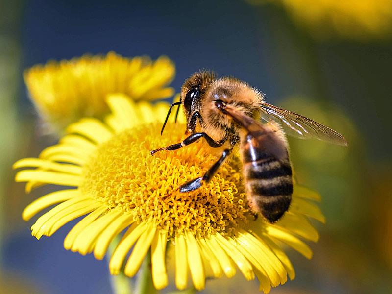 Arıların Faydaları Nelerdir? Arılar Olmasaydı Ne Olurdu?
