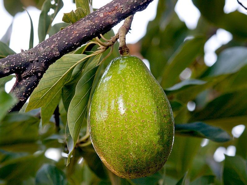 Avokado Yaprağı Faydaları Nelerdir? Çayı Nasıl Yapılır? Zararları Var mı?
