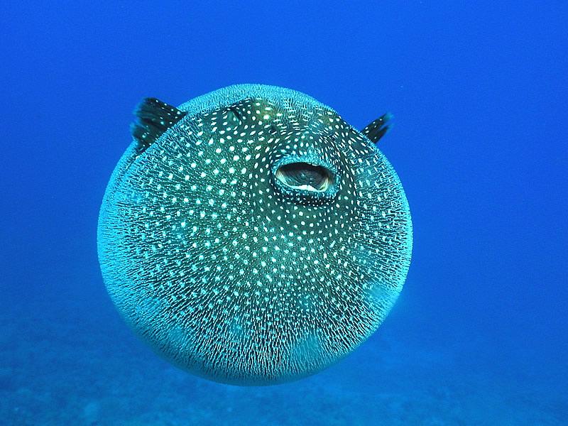 Balon Balığı Yenir mi? Faydaları ve Zararları