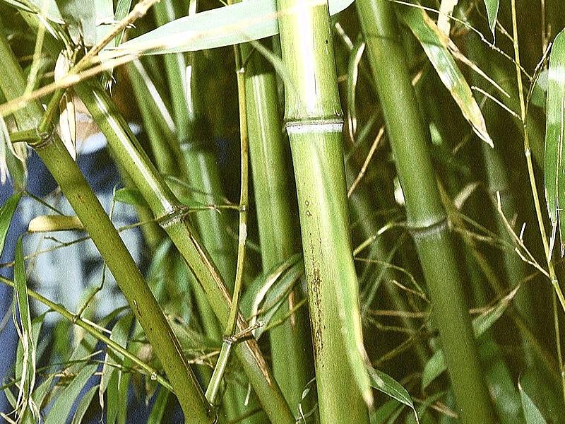 Bambu bitkisi özellikleri, faydaları ve bakımı