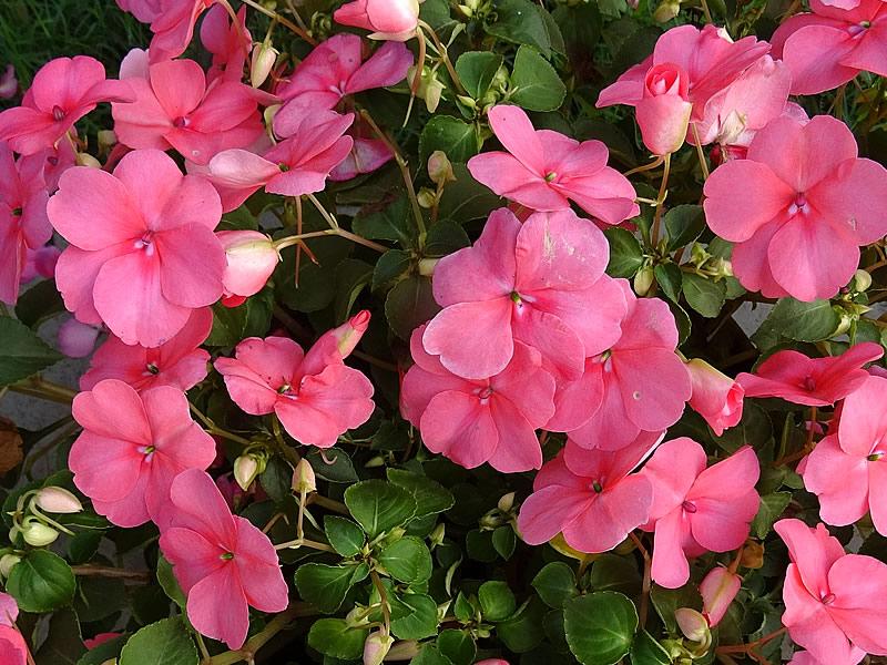 Cam güzeli çiçeği tohumu, bakımı ve fiyatı