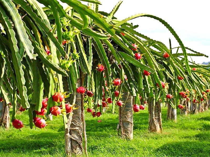 Ejder meyvesi nedir? Faydaları nelerdir? Tadı nasıldır?
