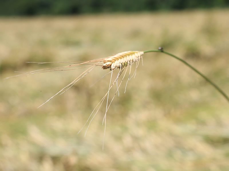 Iza Buğdayı Faydaları Nelerdir? Nerede Satılır?