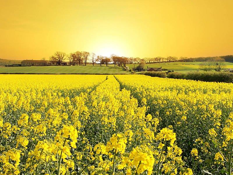 Kanola tohumu nedir? Kanola tohumu çeşitleri, faydaları ve zararları