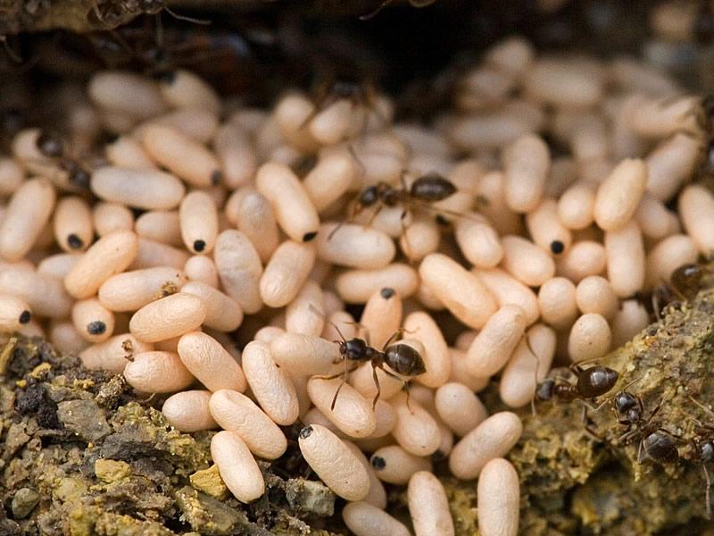 Karınca yumurtası yağı ne işe yarar?