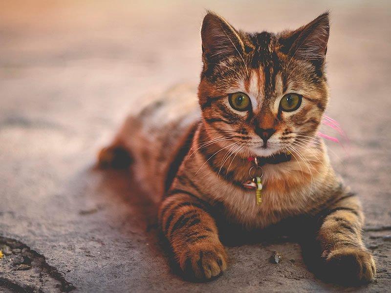 Kedi tüyü alerjisi geçer mi? Ne iyi gelir?