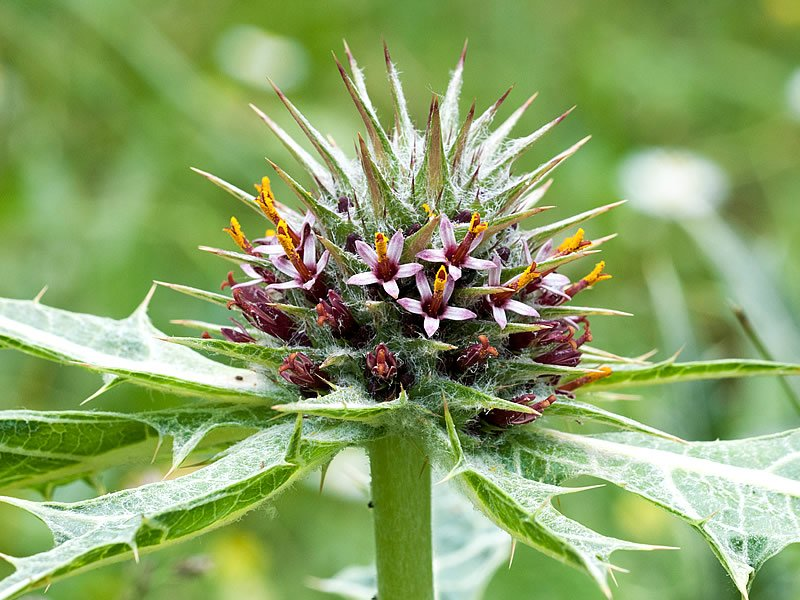 Kenger bitkisi nedir? Nasıl ve nerede yetişir? Faydası ve zararı