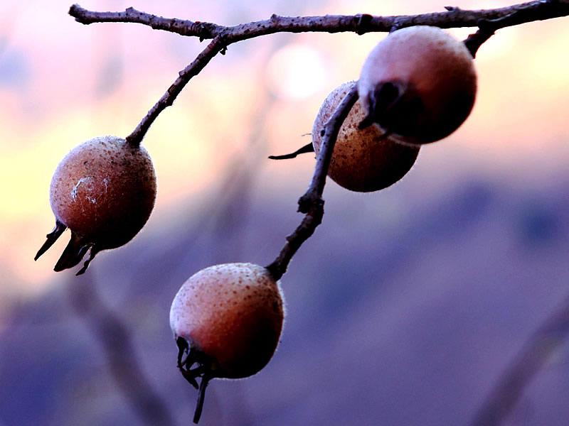 Muşmula meyvesinin ve sirkesinin faydaları