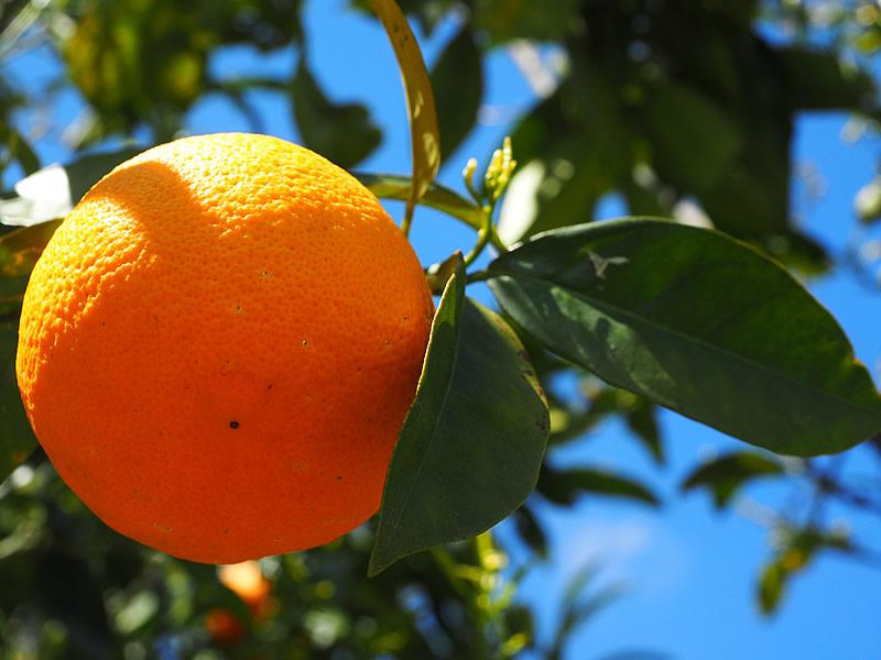 Portakal Zayıflatıyor mu? Diyette Yenir mi?