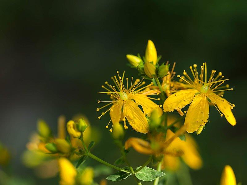 Sarı kantaron çayı nasıl yapılır? Kullananlar, Faydaları ve Fiyatı