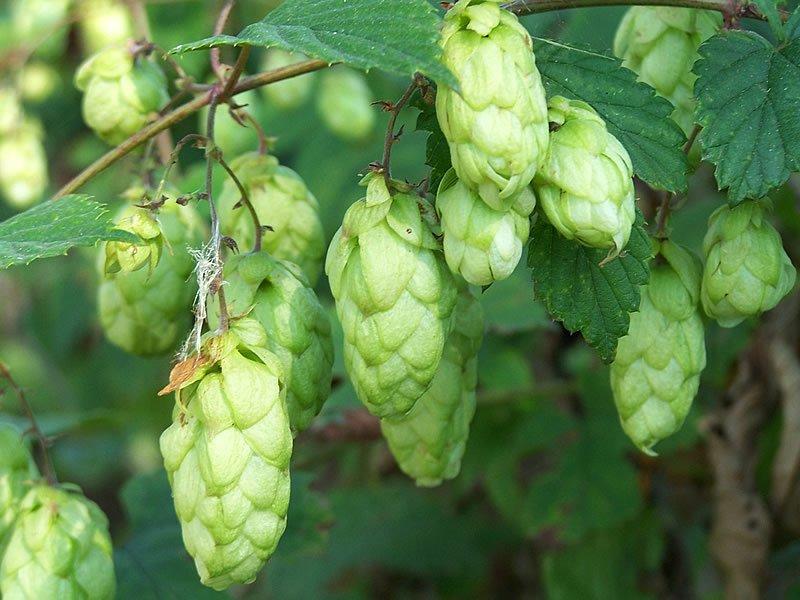 Şerbetçi otu çayı nedir? Nasıl yapılır? Hazırlanışı, faydaları ve zararları