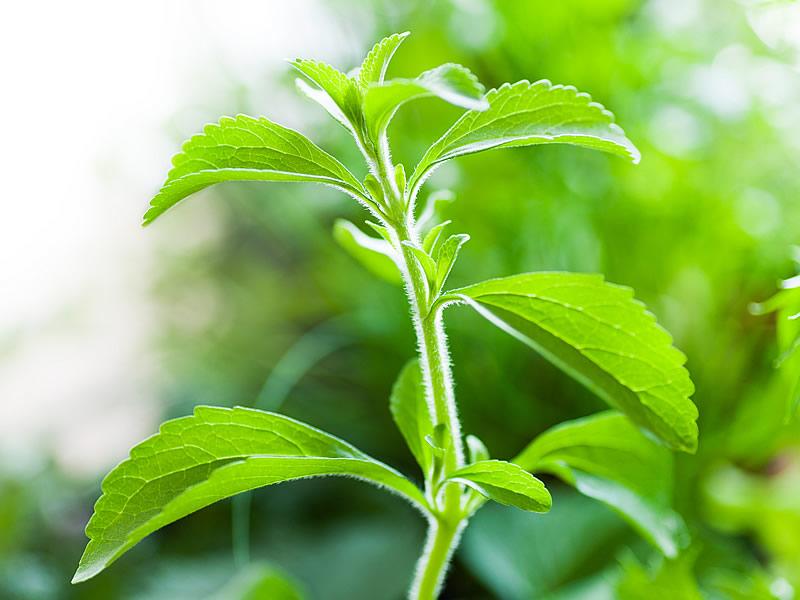 Stevia tohumu bitkisi fiyatı ve satışı