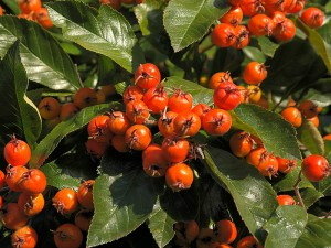 Alıç meyvesi neye yarar? Faydaları ve fiyatı
