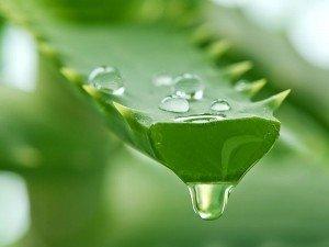 Aloe vera nedir? Neye iyi gelir? Aloe veranın faydaları ve zararları