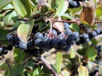 Aronya Meyvesi Kilo Verdirir mi? Aronia Meyvesinin Sağlığa Faydaları ve Zararları