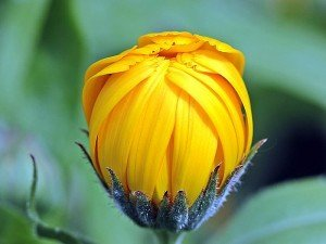 Aynı safa bitkisi nedir? Nasıl kullanılır? Neye iyi gelir? Yararları ve zararları