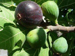 Ballıdarı meyvesi nedir, ne demek? Ne işe yarar? Faydaları ve zararları nelerdir?