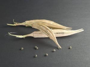 Bamya tohumu kürü nasıl ve kaç gün yapılır? Neye iyi gelir?
