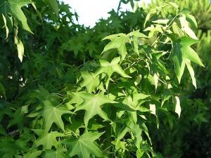 Boy otu tohumunun diğer adı, faydaları ve kürü
