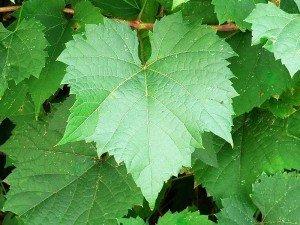 Çınar yaprağı kürü nasıl yapılır? Faydaları, zararları, yan etkileri