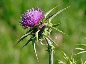 Deve dikeni tohumu nedir? nasıl toplanır? Faydaları ve zararları