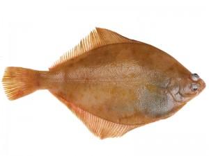 Dil Balığı Faydaları Nelerdir? Tarifi ve Fiyatı