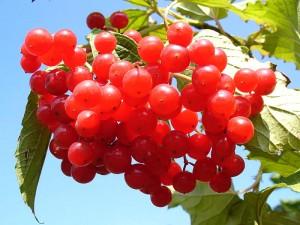 Gilaburu bitkisi nedir? Nasıl kullanılır? Faydaları ve yan etkileri