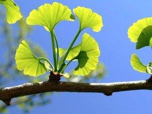 Ginkgo biloba nedir, neye yarar? Nasıl kullanılır?