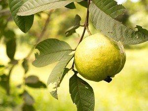 Guava nedir? Nerede satılır? Guava bitkisinin faydaları ve zararları