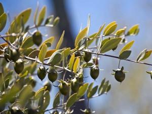 Jojoba bitkisi tohumu nasıl yetiştirilir? Nerede yetişir? Fiyatı ve faydaları
