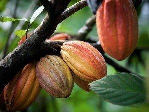 Kakao bitkisi nedir? Nerelerde ve nasıl yetişir? Türkiye'de yetişirmi?