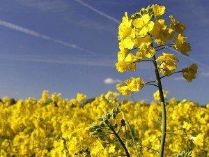 Kanola bitkisi nedir? Nasıl yetiştirilir? Ne işe yarar? Ne zaman ekilir?