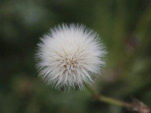 Karahindiba nedir? Karahindibanın faydaları ve zararları