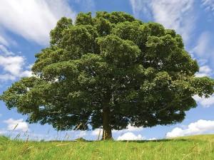 Kayın Ağacının Faydaları ve Özellikleri Nelerdir?