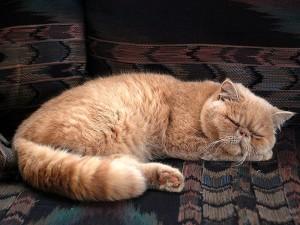 Kedi tüyü akciğere yapışır mı? Kaçar mı? Belirtileri nelerdir?