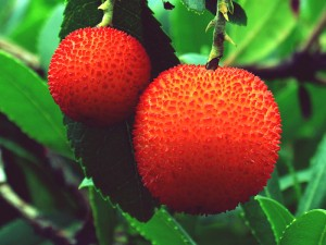 Kocayemiş Meyvesinin Faydaları Nelerdir? Ne Zaman Toplanır? Nerede Yetişir?