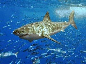 Köpek balığı kıkırdağı nedir? Neye iyi gelir? Faydaları, zararları, yan etkileri