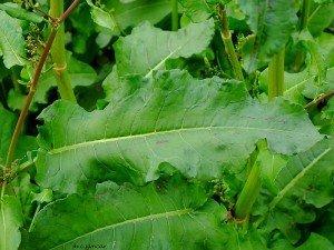 Labada bitkisi nedir? Diğer adı, faydaları, zararları, genel özellikleri