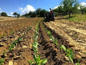 Maraş otu bitkisi fiyatı ve zararları