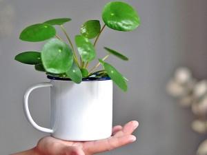 Monstera bitkisi özellikleri, bakımı ve fiyatı