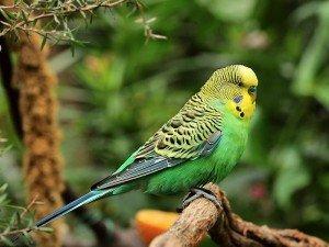 Muhabbet kuşları ne yer? Muhabbet kuşları hakkında bilgi