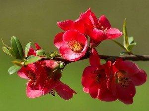 Nar çiçeği çayının faydaları ve zararları