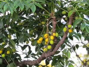 Neem ağacı yağı faydaları ve fiyatı