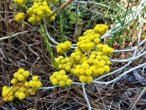 Ölmez otu kremi yağı ve bitkisi