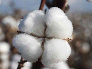Pamuk yağı nedir? Nereden alınır? Fiyatı, faydaları ve zararları