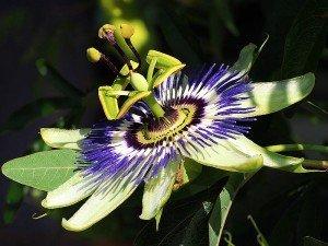 Passiflora nedir? Neye iyi gelir? Ne işe yarar? Passifloranın faydaları ve zararları
