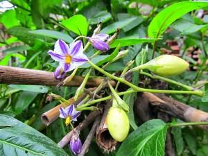 Pepino bitkisi ve tohumunun faydaları